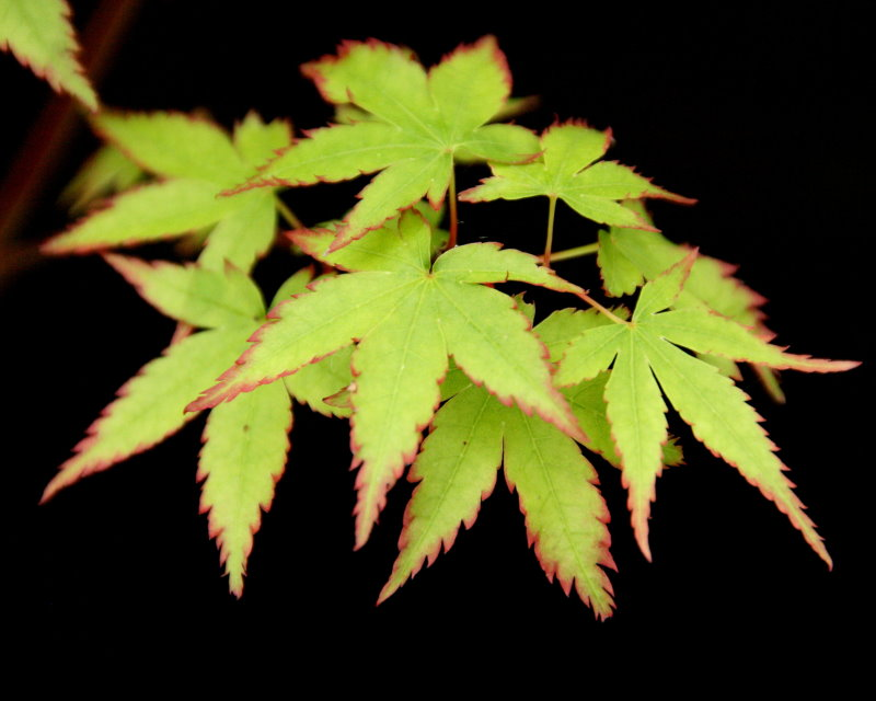Japanese Maple Leaf Tattoo Meaning Rynakimley