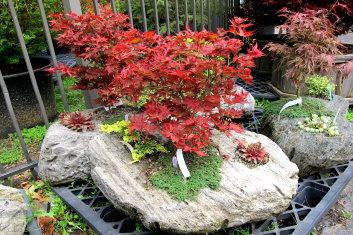 Palmatum Pumice Garden Davidsans Japanese Maples