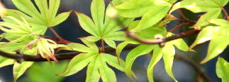 Palmatum Products Davidsans Japanese Maples