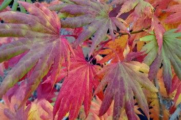 Other Hardy Asian Maples Acer Shirasawanum Palmatifolium