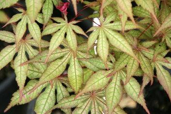 Palmatum Acer Palmatum Amber Ghost Davidsans Japanese Maples