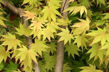 Other Hardy Asian Maples Acer Shirasawanum Autumn Moon Davidsans