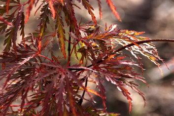 Dissectum Acer Palmatum Beni Tsukasa Shidare Davidsans Japanese