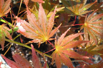 Palmatum Acer Palmatum Tiger Rose Davidsans Japanese Maples