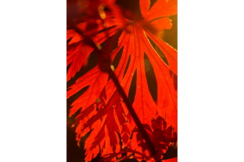 Other Hardy Asian Maples Acer Japonicum Dancing Peacock See