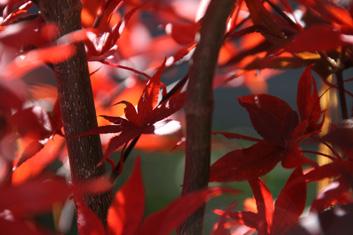 Palmatum Acer Palmatum Shojo Nomura Davidsans Japanese Maples
