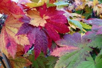 Other Hardy Asian Maples Acer Japonicum Vitifolium Davidsans