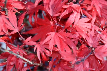 Dwarf Acer Palmatum Kandy Kitchen Davidsans Japanese Maples