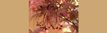 z1 Japanese Maples: Inspirations in Color - Volume 3