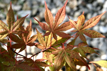 Palmatum Acer Palmatum Baby Ghost Davidsans Japanese Maples