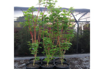 Other Rare Acers Acer Circinatum Pacific Fire Davidsans Japanese