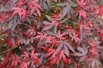 Dwarf Acer Palmatum Royle Davidsans Japanese Maples