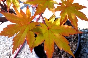 Other Rare Acers Acer Circinatum X Palmatum Herbstfeuer Autumn