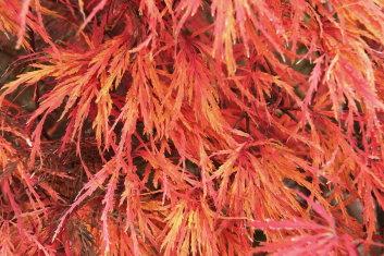 Dissectum Acer Palmatum Autumn Fire Davidsans Japanese Maples