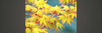 Z1 Japanese Maples: Inspirations in Color - Volume 2