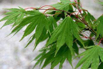 Palmatum Acer Palmatum Killarney Davidsans Japanese Maples