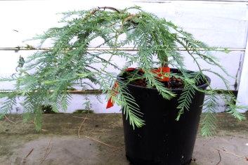 Conifers Z Metasequoia Glyptostroboides Bonsai Dawn Redwood Davidsans Japanese Maples
