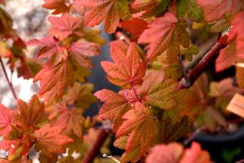 Other Rare Acers Acer Circinatum Burgundy Jewel Davidsans