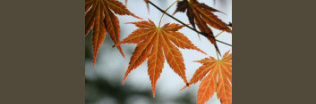 Z1 Japanese Maples: Inspirations in Color - Volume 4