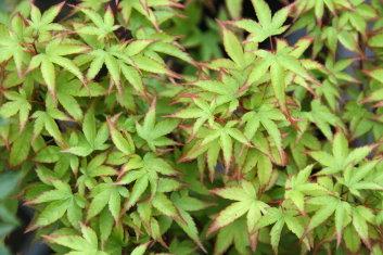 Dwarf Acer Palmatum Komachi Hime Davidsans Japanese Maples