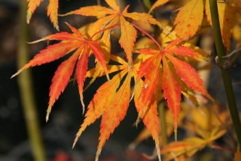 Palmatum Acer Palmatum Kurabu Yama Davidsans Japanese Maples